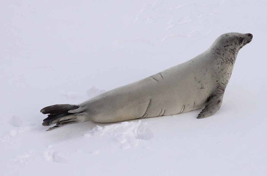 Crabeater seal (O'Connor) alt