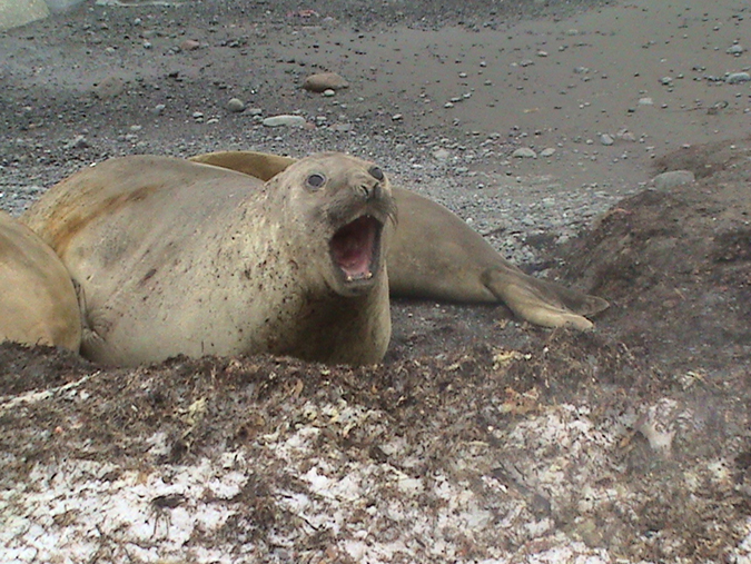 Elephant seal (O'Connor) alt