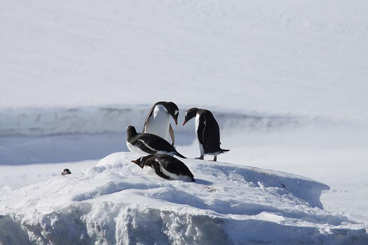 Gentoo penguins (O'Connor) alt