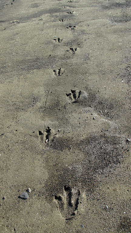 Penguin tracks (Clarke) alt