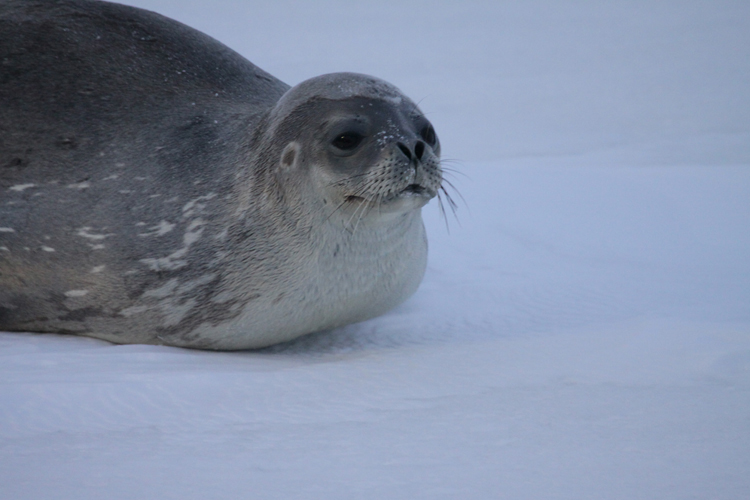 Seal (O'Connor)