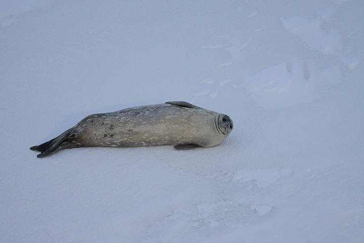 Weddell seal (O'Connor) alt