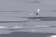 Antarctic tern diving (Meng) alt