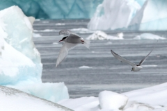 Antarctic terns (Meng) alt