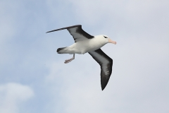 Blackbrowed albatross (Meng) alt