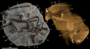 One half of the rock concretion that bears the original skeleton of the duck-like Cretaceous bird Vegavis iaai (left), along with a computed tomographic (CT) image of the same specimen (right).